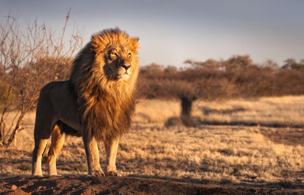Stattlicher Löwe steht im goldenen Licht in der Savanne.